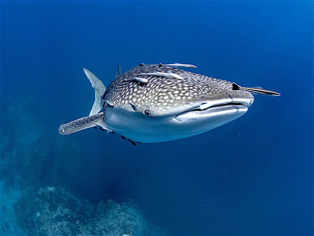 Whale Shark Koh Tao - Rhincodon typus specialty course koh tao