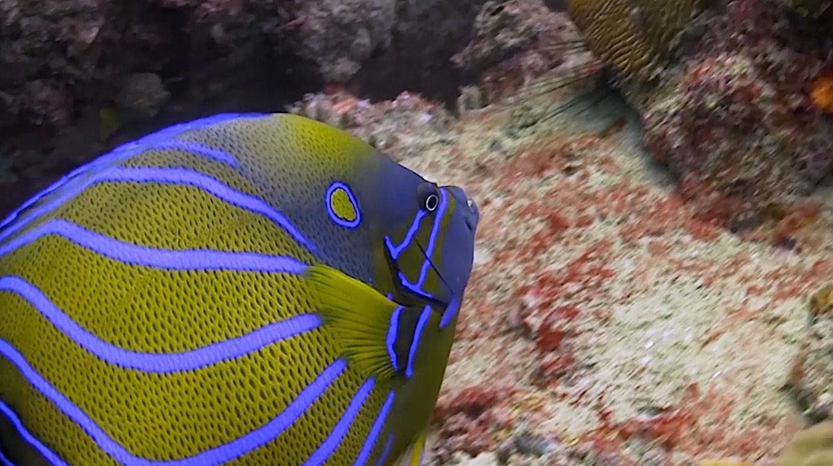 Dive Sites Koh Tao - Banded Angelfish