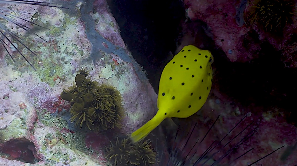 Dive Sites Koh Tao - Yellow Boxfish