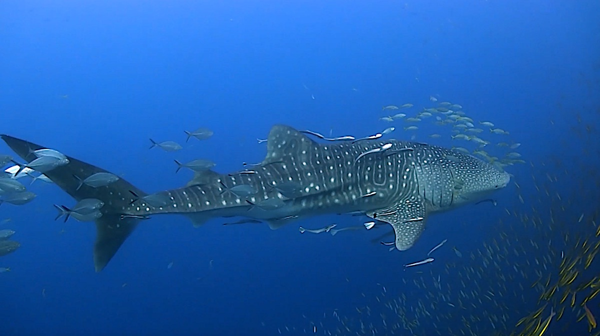 Dive Sites Koh Tao - Whaleshark