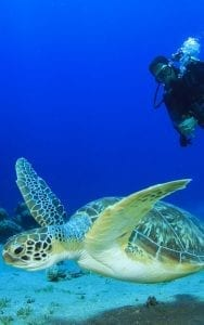 Sea Turtle and Scuba Diver Koh Tao