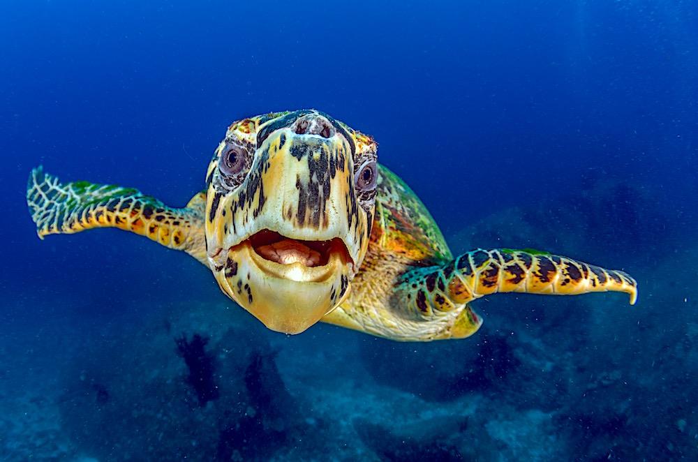 Hawksbill Sea Turtle Koh Tao - Eretmochelys Imbricata