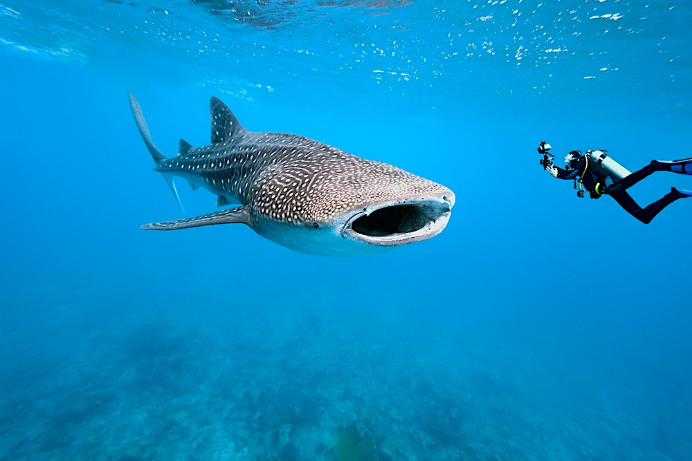 Whaleshark Sightings Koh Tao