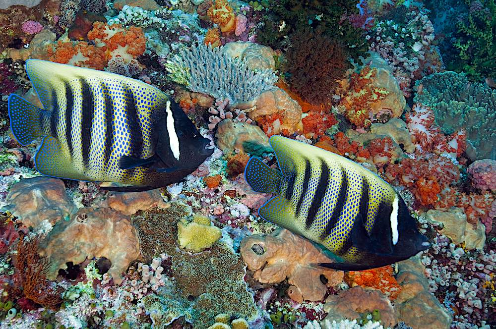 Six Banded Angelfish Koh Tao