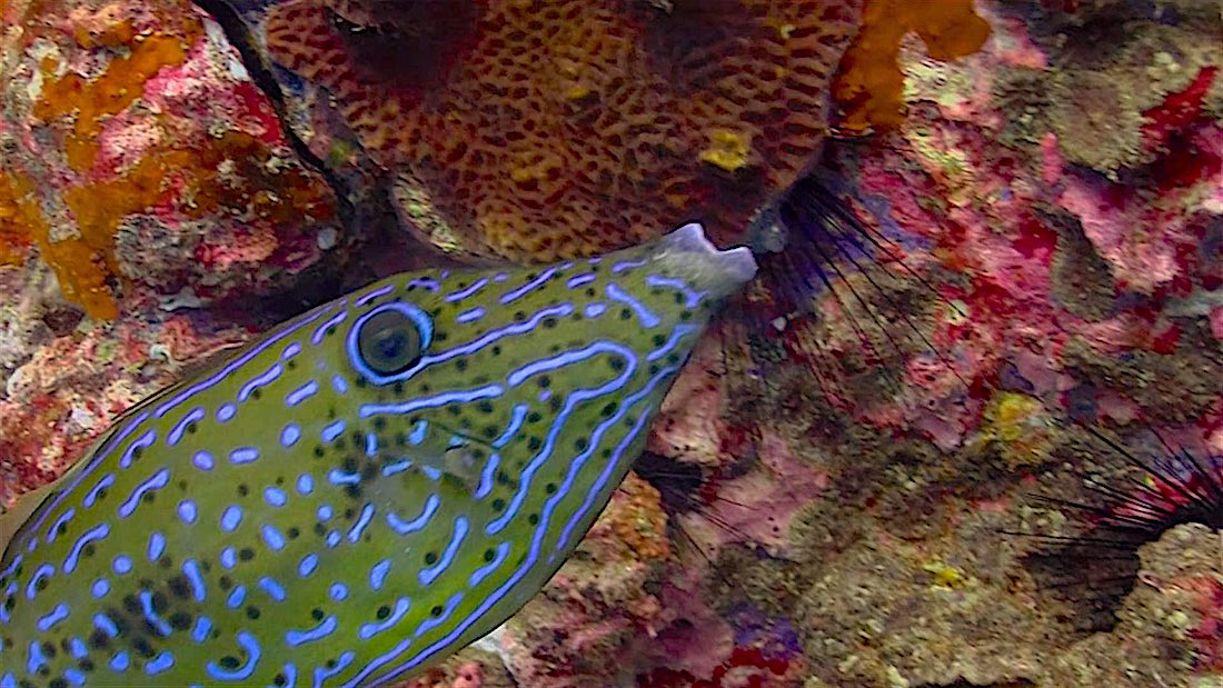 Laem Thian Dive Site Koh Tao - Scribbled Filefish