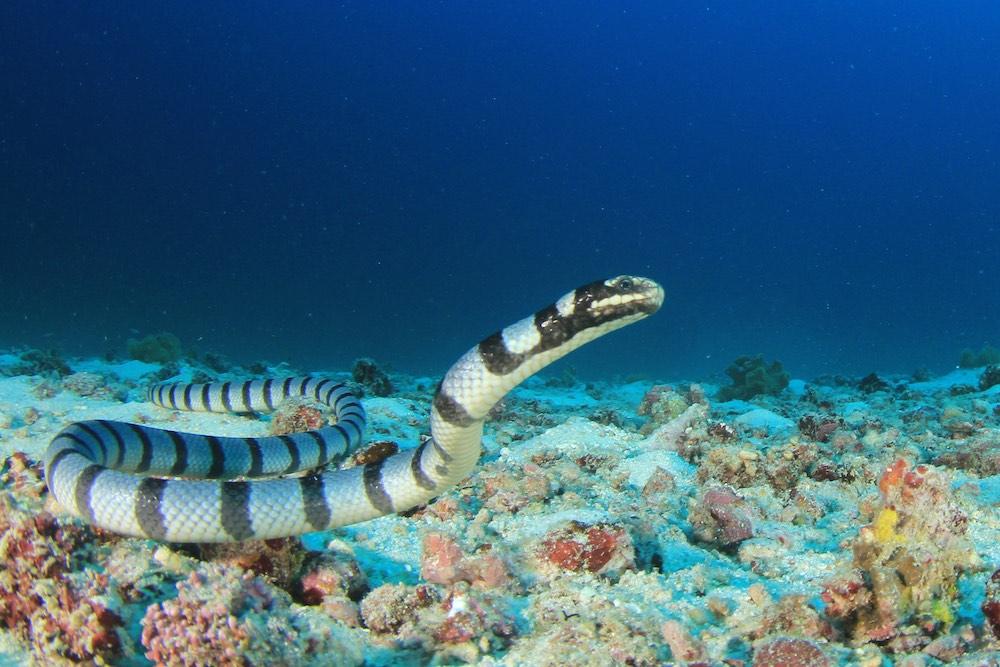 Banded Sea Krait Koh Tao Thailand