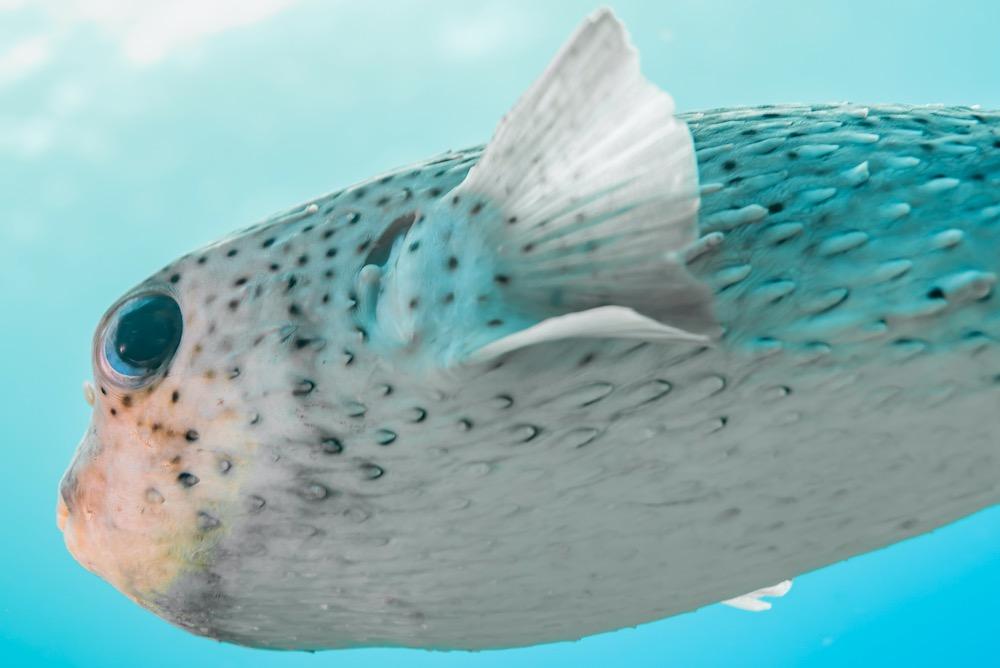 Black Spotted Porcupine Fish Koh Tao Marine Life