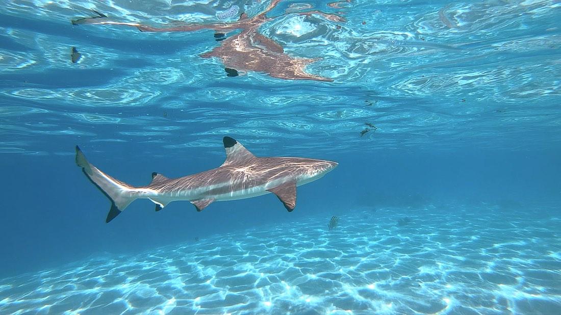 Black Tip Reef Sharks Koh Tao Marine Life