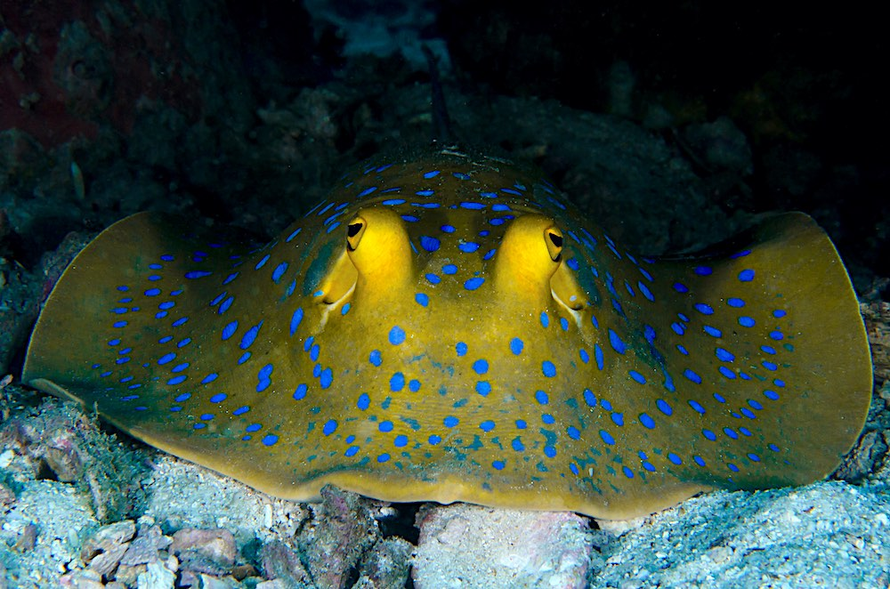 Blue Spotted Ribbontail Ray Koh Tao