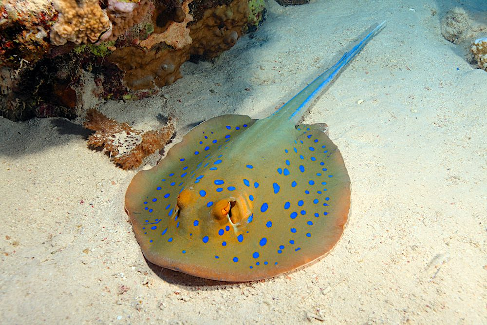 Blue Spotted Ribbontail Ray Koh Tao Marine Life