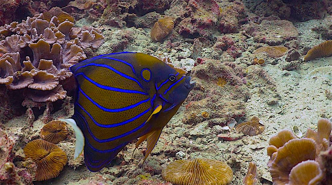 Hin Wong Pinnacle Dive Site Koh Tao - Blue Ringed Angelfish