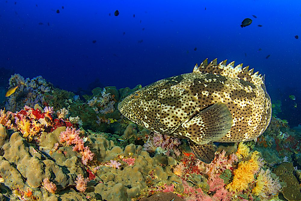 Brown Marbled Grouper - Marine Life