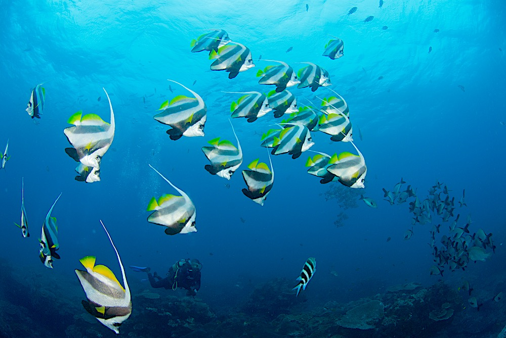 Butterfly Fish of Koh Tao