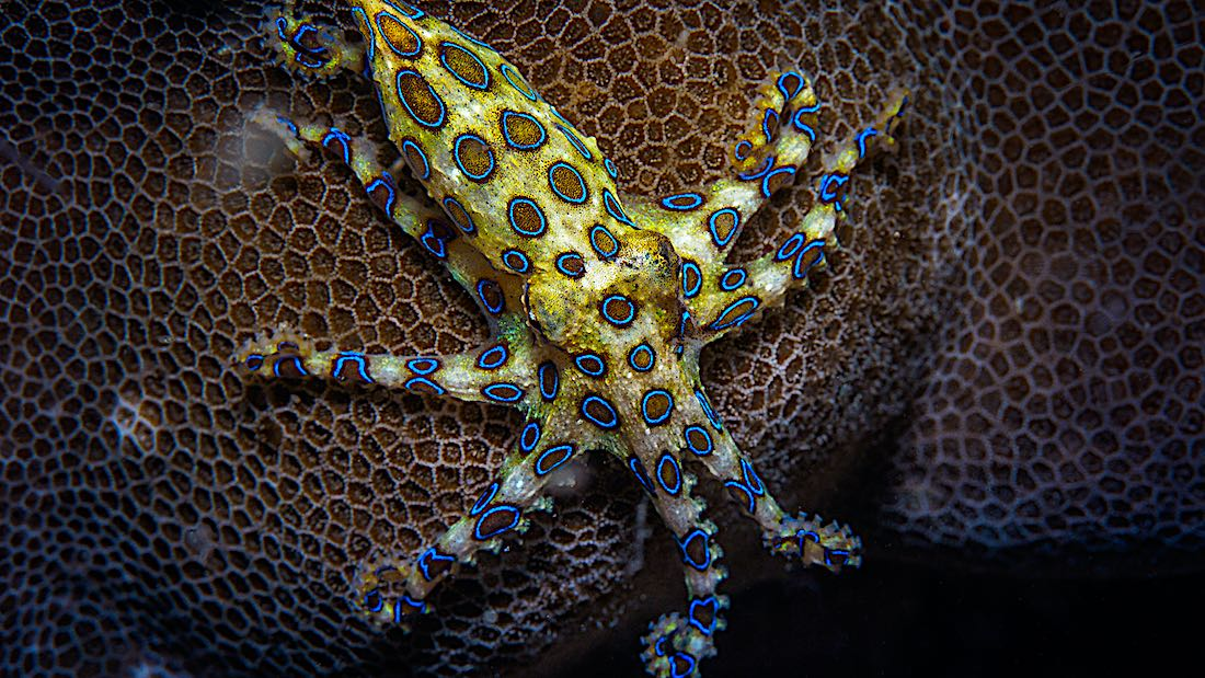 Blue Ringed Octopus Koh Tao