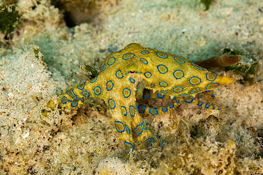 Blue Ringed Octopus - Black Turtle Dive