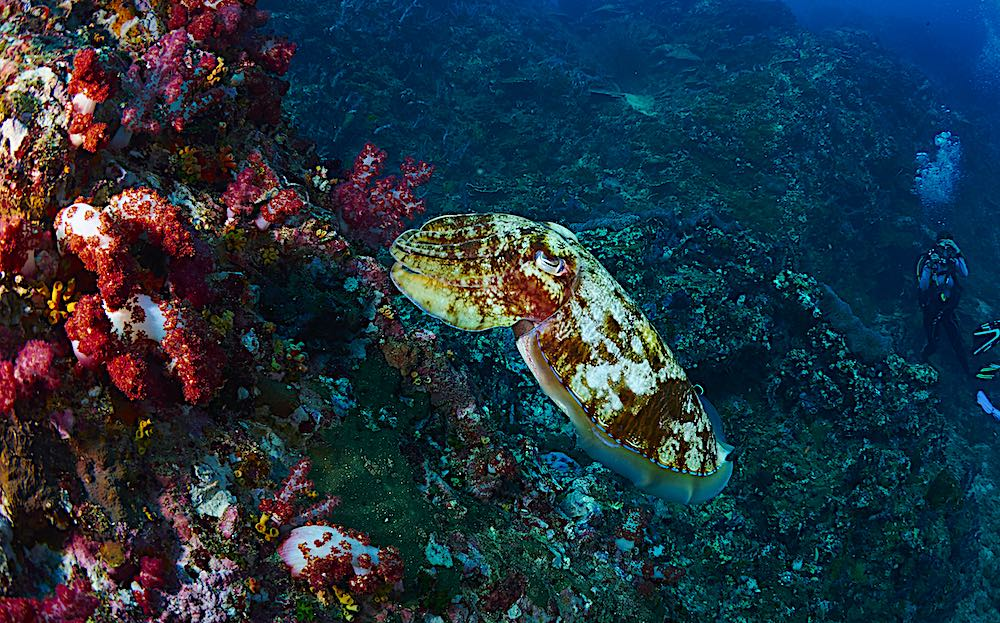 Cuttlefish - Marine Life