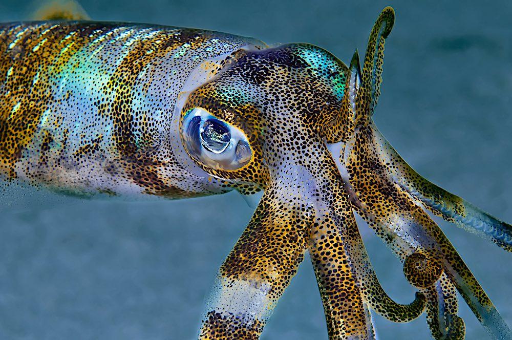 Cephalopods Koh Tao