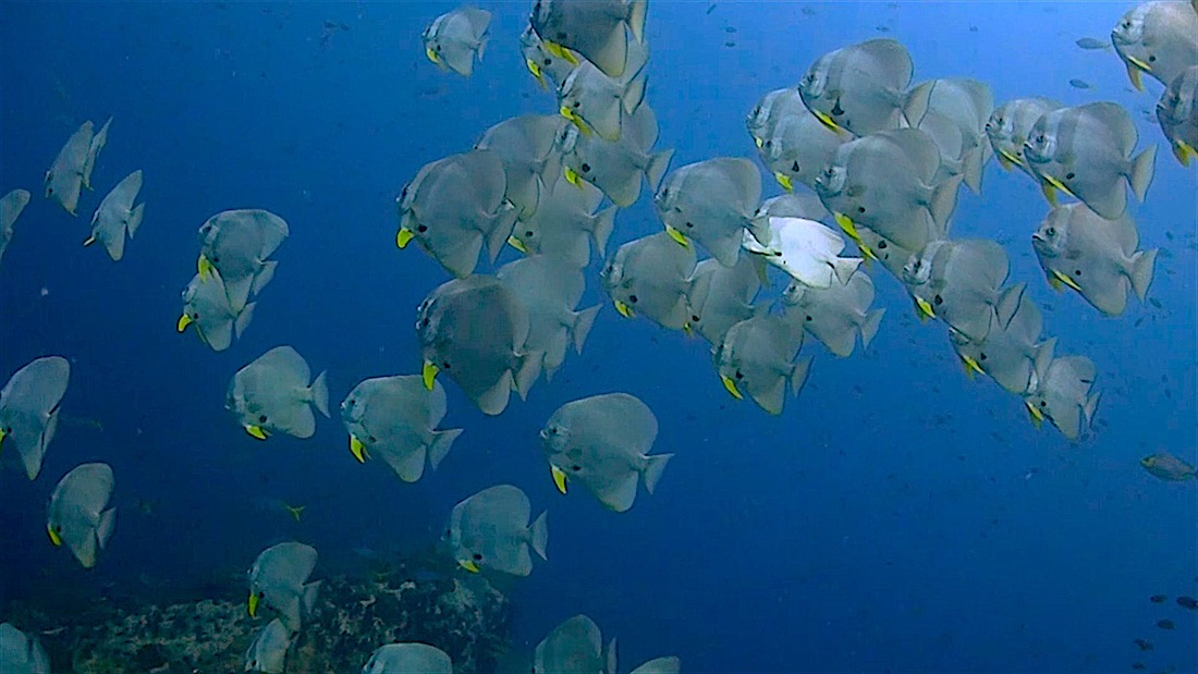 Chumphon Pinnacle Dive Site Koh Tao - Batfish