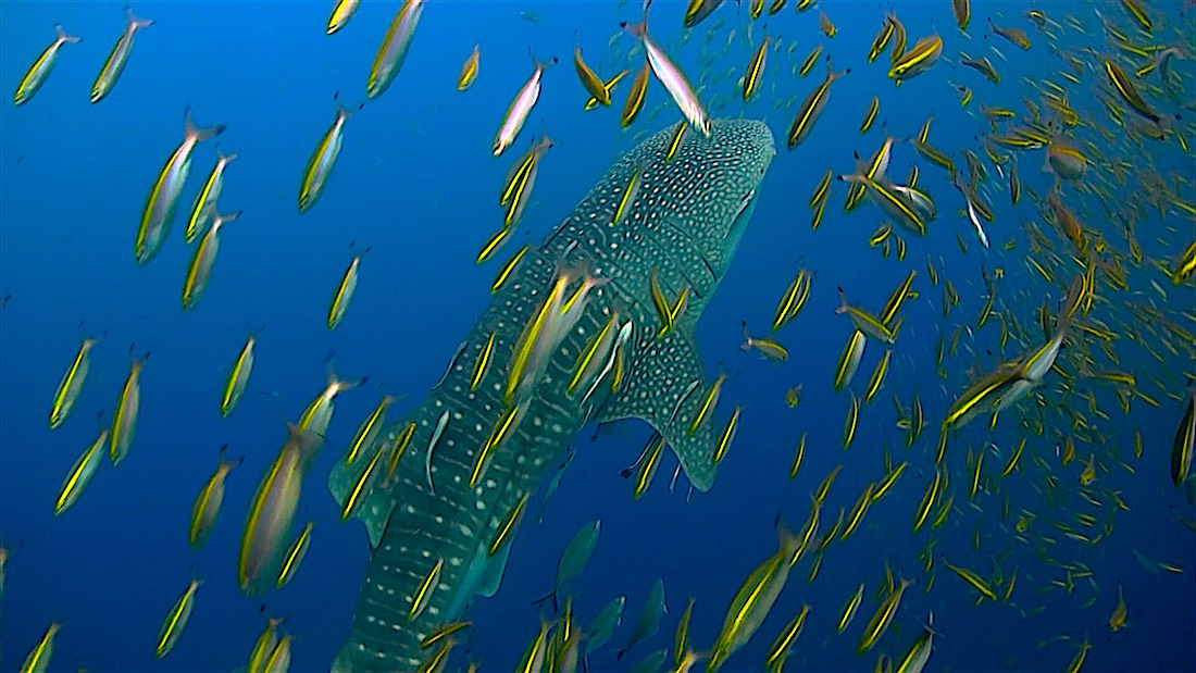 Chumphon Pinnacle Dive Site Koh Tao - Whalesharks