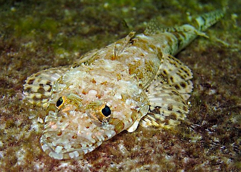 Crocodile Fish - Marine Life Predators