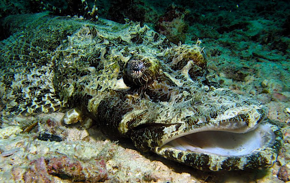 Crocodile Fish - Koh Tao Marine Life Predators