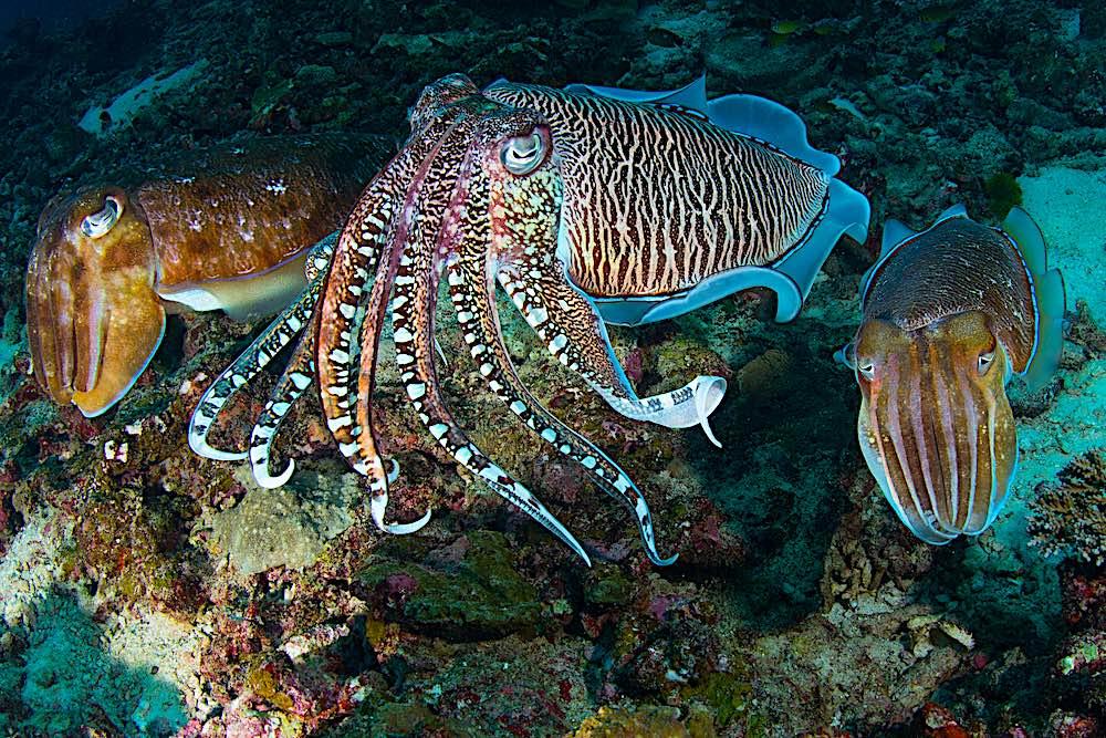 Amazing Cuttlefish - Marine Life