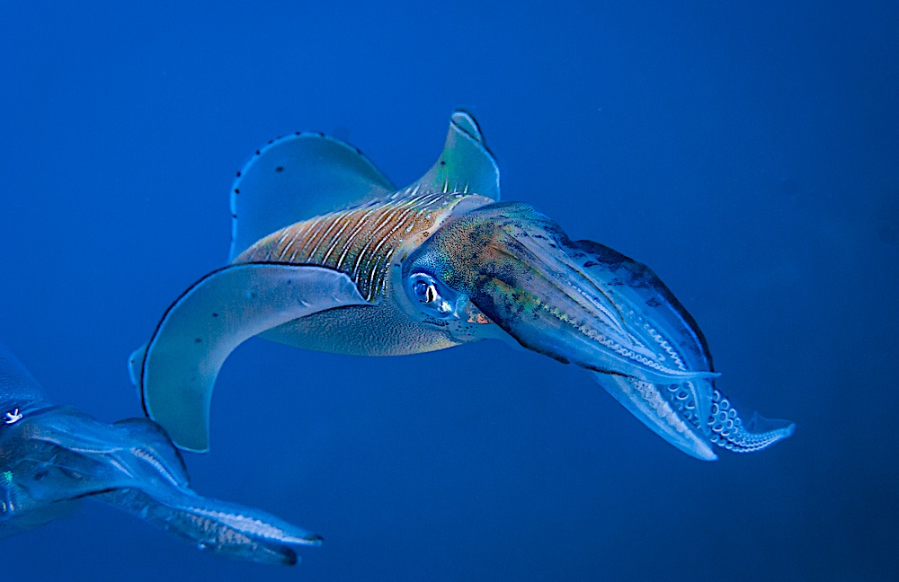 Reef Squid - Marine Life