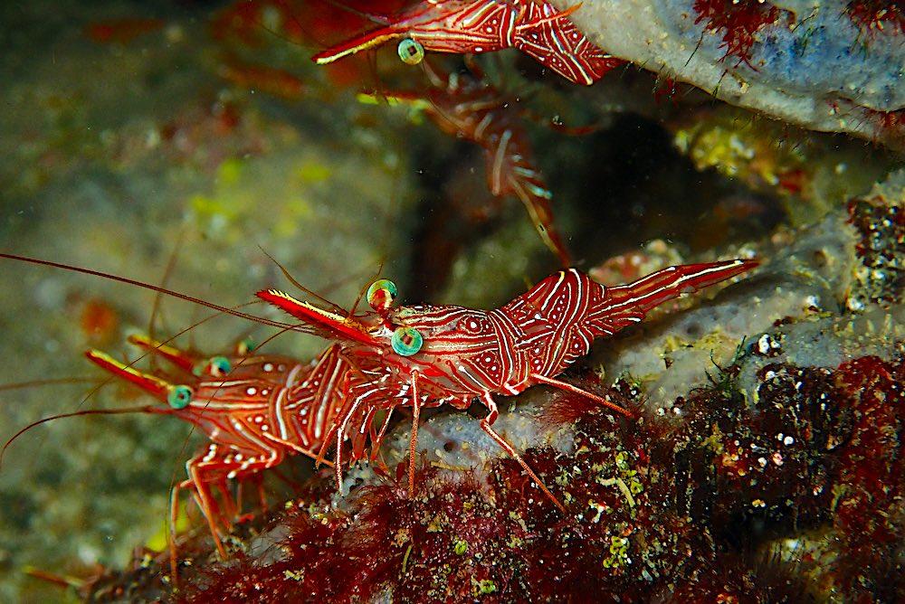 Durban Dancing Shrimp Koh Tao