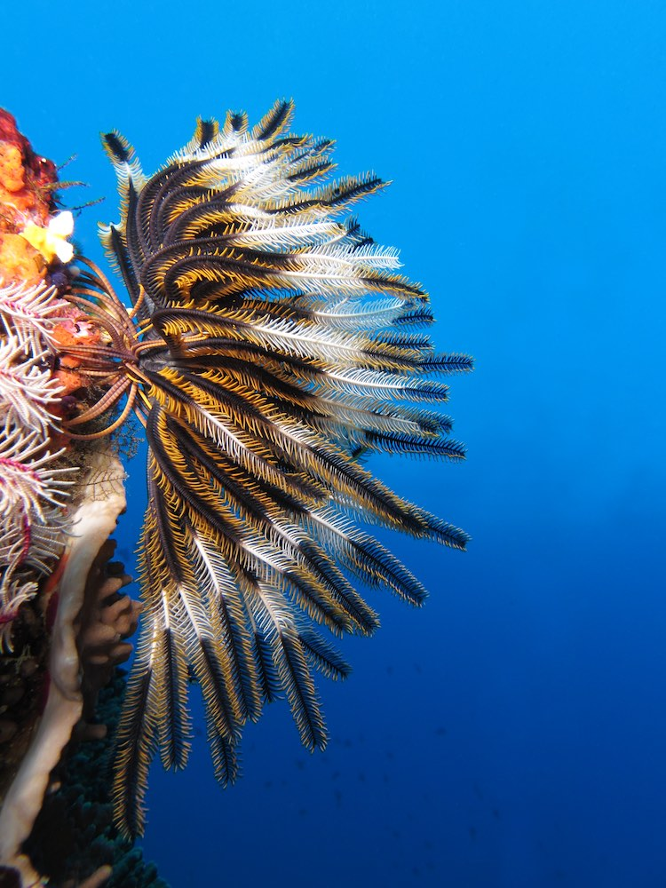 Feather Star Fish Attached to Substrate