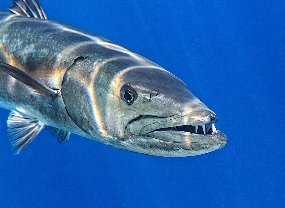 Great Barracuda Koh Tao Marine Life Thailand