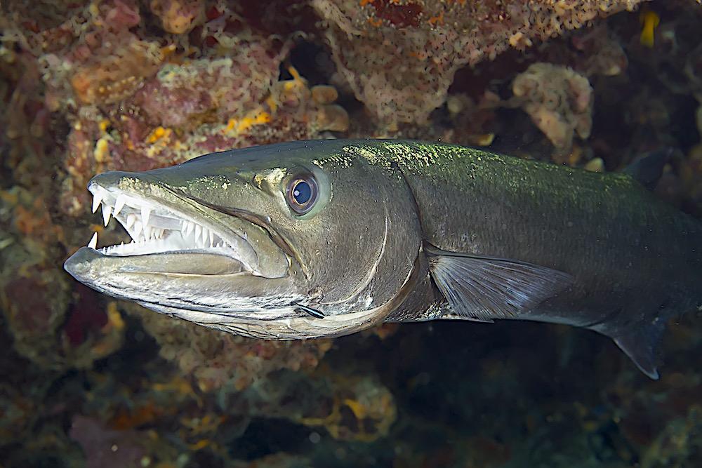 Great Barracuda Koh Tao