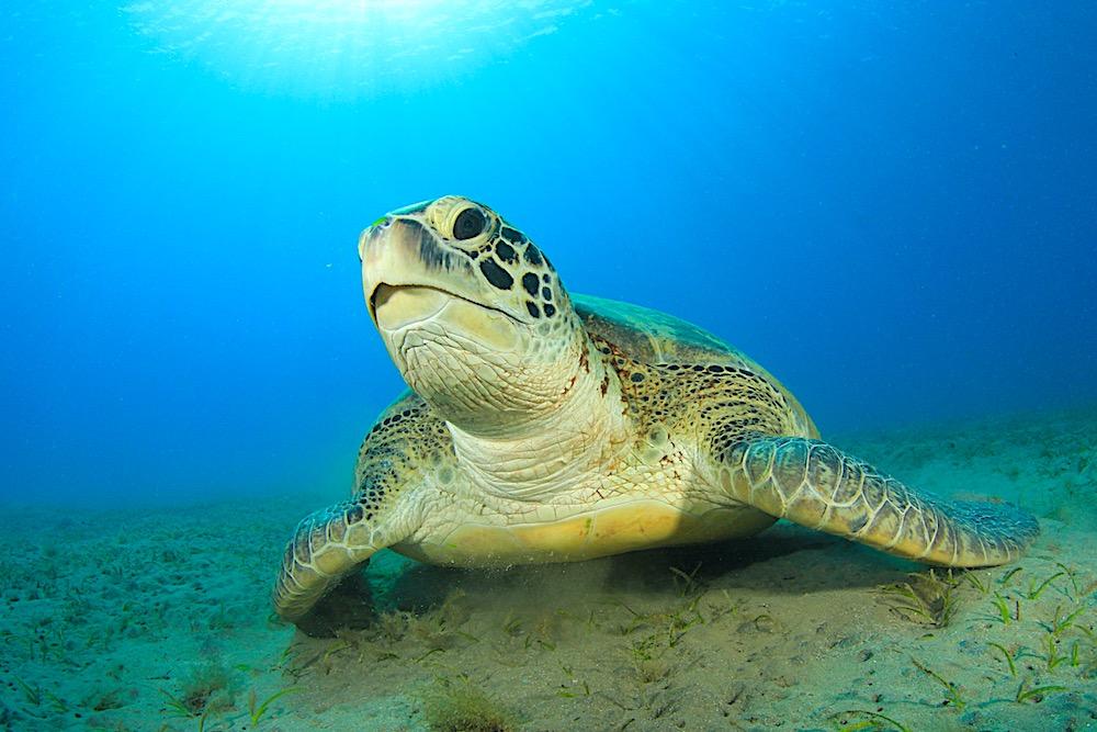 Green Sea Turtle Koh Tao - Marine Life
