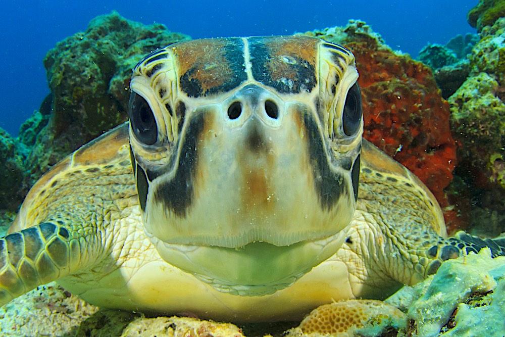 Green Sea Turtles Marine Life Koh Tao