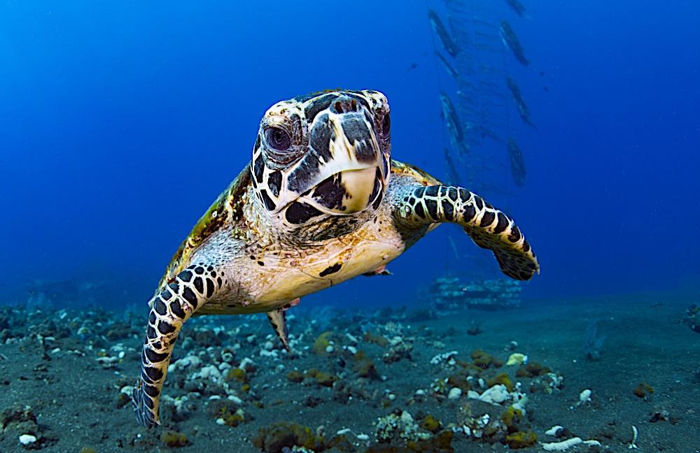 Hawksbill Sea Turtle - Marine Life Koh Tao