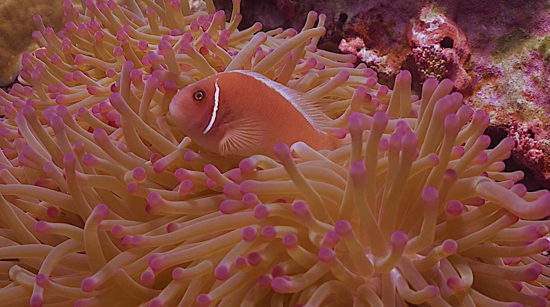 Japanese Gardens Dive Site Koh Tao - Anemone Fish