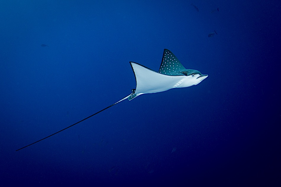 Amazing Ocellated Eagle Ray
