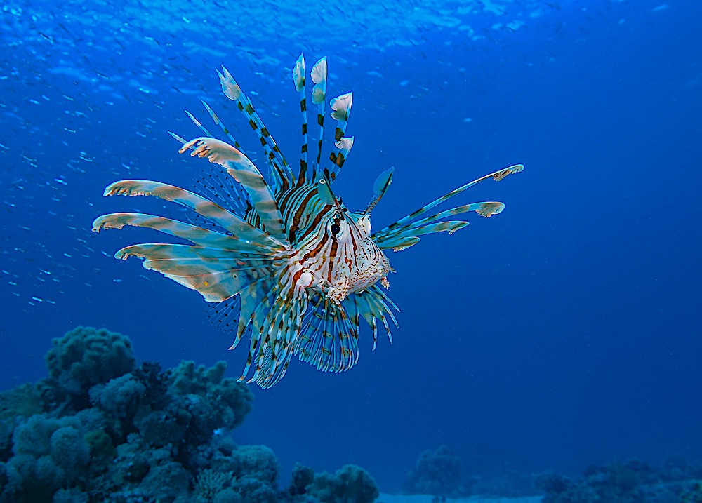 Red Lion Fish - Marine Life