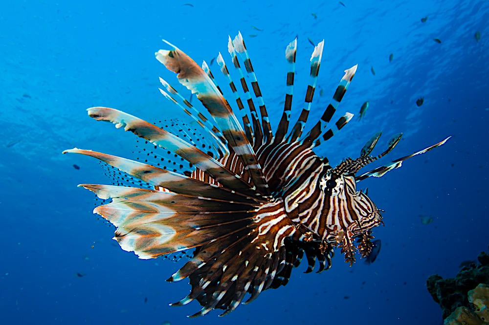 Red Lion Fish - Koh Tao Marine Life