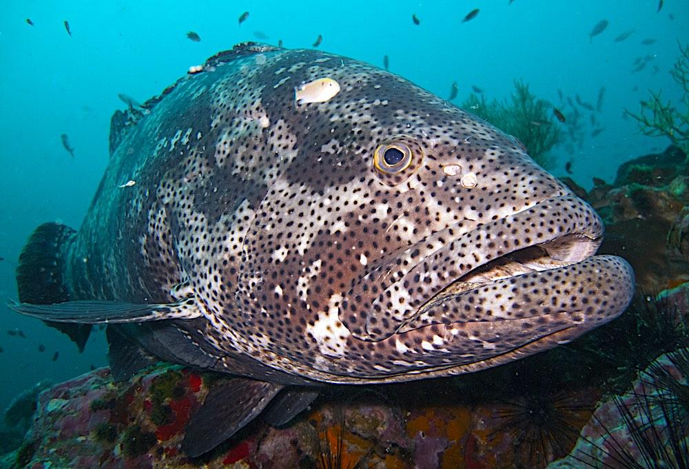 Malabar Grouper - Marine Life Koh Tao