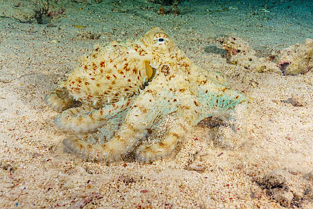 Mimic Octopus - Marine Life