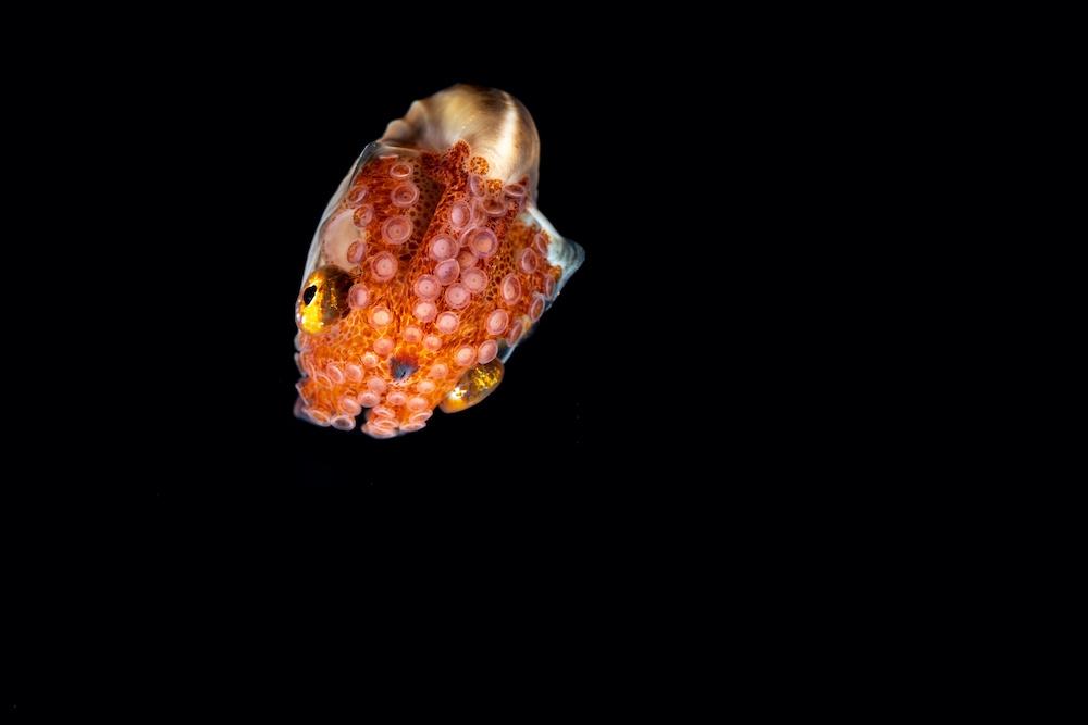 Paper Nautilus Octopus - Marine Life