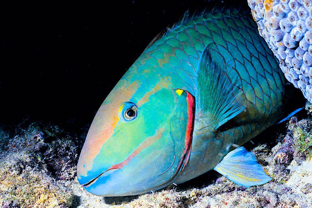 Parrot Fish Koh Tao Marine Life