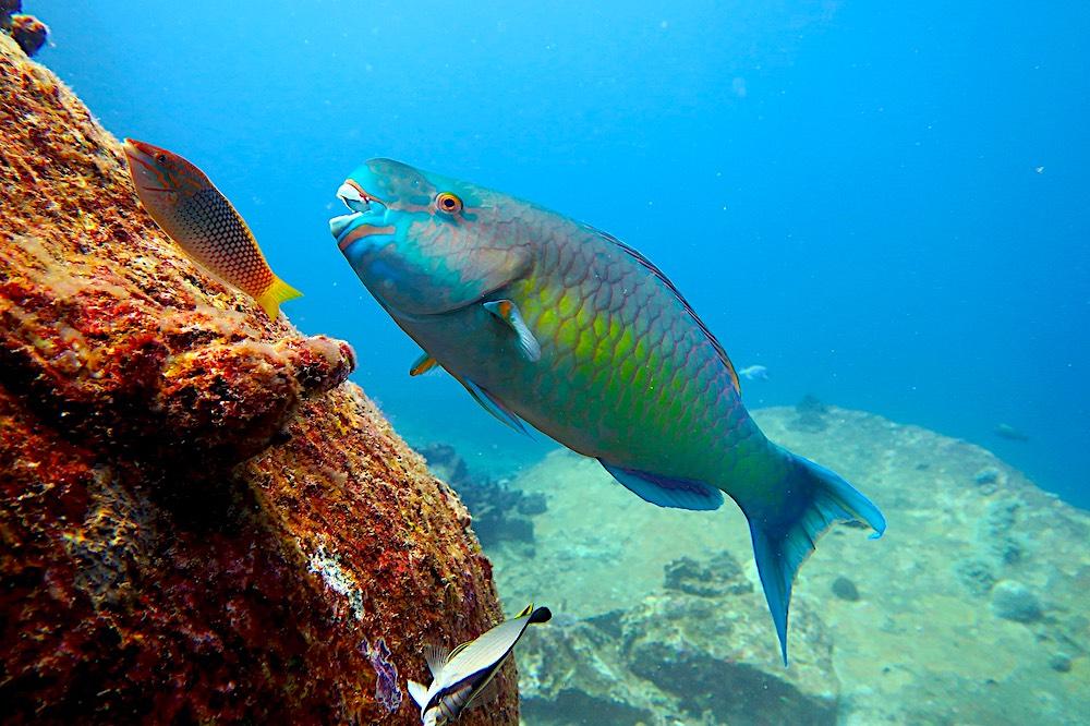 Parrot Fish Koh Tao