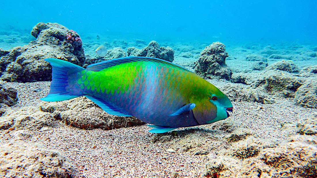 Colorful Parrot Fish Koh Tao