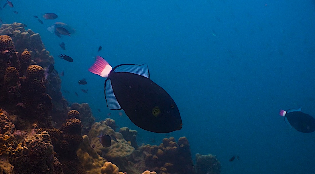Pink Tailed Triggerfish Koh Tao Marine Life