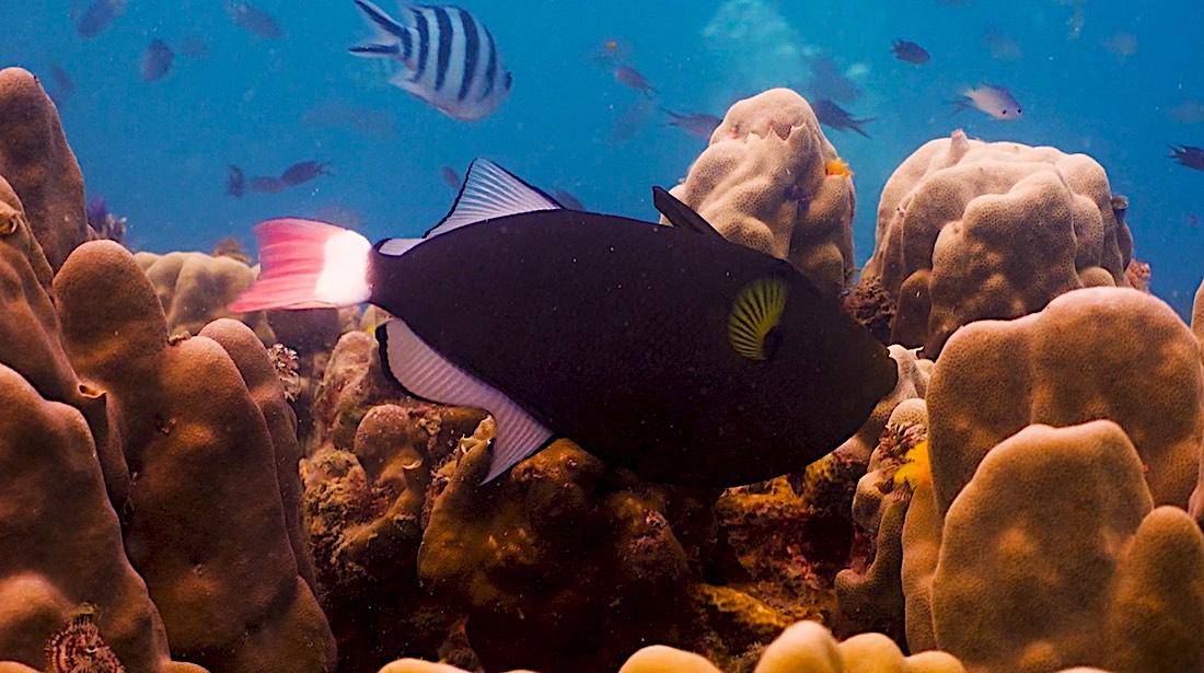 Pink Tailed Triggerfish - Marine Life