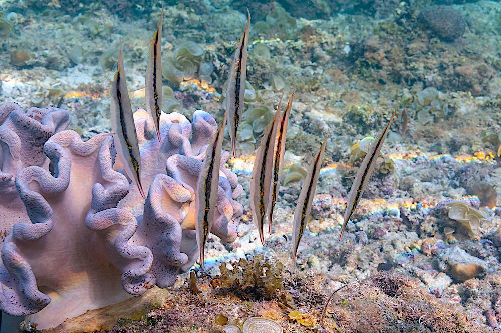 Grooved Razor Fish - Marine Life