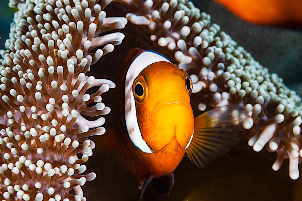 Saddleback Clownfish & Sea Anemonefish