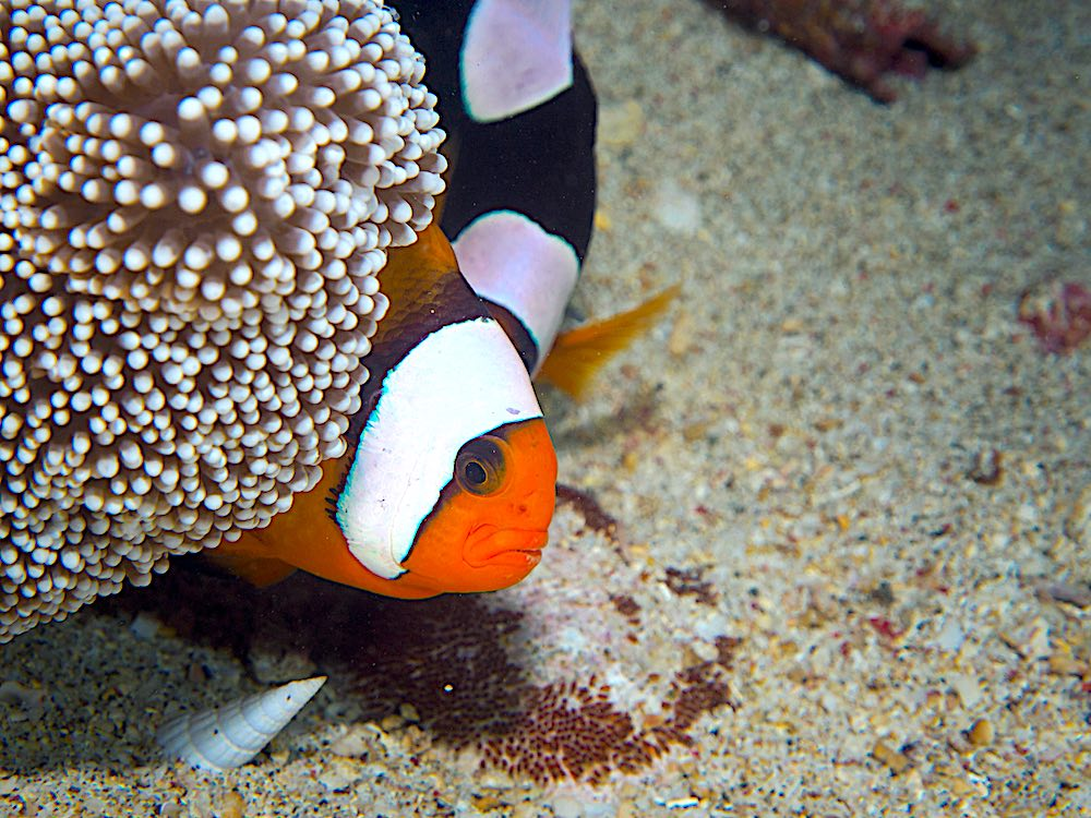 Saddleback Clownfish & Sea Anemonefish with Eggs