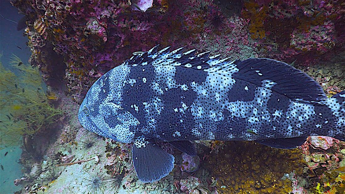 Sail Rock Dive Site Koh Tao - Grouper